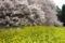吉高の大桜菜の花