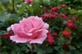 習志野森林公園の薔薇