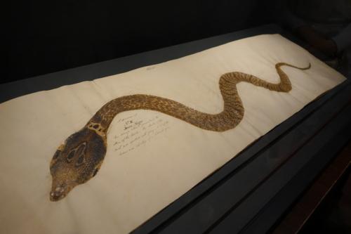 インドコブラの皮