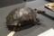 ダーウィンのペットだった若いガラパゴスゾウガメ