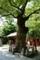ご神木の欅
