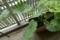 カボチャの葉