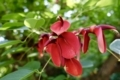 清水谷公園のデイゴの花