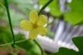ゴーヤの花1