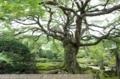 コミネカエデの巨木