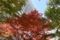 COREDO日本橋の紅葉