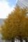 霞ヶ関のイチョウ