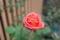 日本橋本町の薔薇