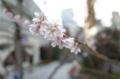 銀座の十月桜