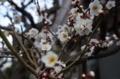 実家の庭の梅