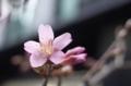 一輪だけ開花した日本橋室町のオカメザクラ