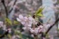 京橋の河津桜