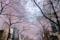 八重洲さくら通りの桜のトンネル
