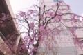 職場近くの枝垂桜