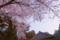 通勤途中の習志野森林公園のソメイヨシノ