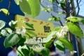 眉二郎の前の街路樹の花
