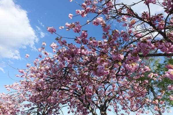 八重桜がまだ満開