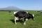 朝霧高原の牧場の牛