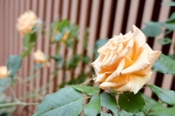 日本橋室町の薔薇