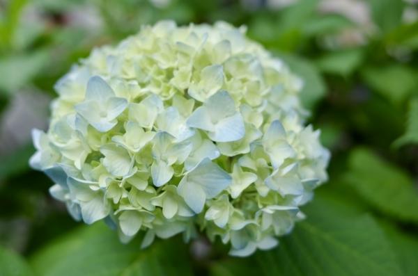 日本橋室町の紫陽花