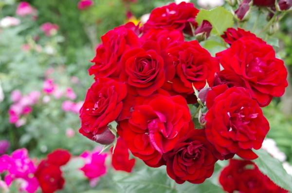 通勤途中の薔薇