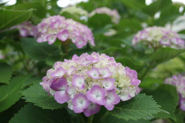 日本橋兜町の紫陽花