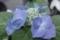 日本橋の紫陽花