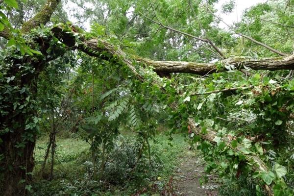 昨夜の台風で折れた木