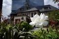 赤坂プリンスクラッシックハウスと白い薔薇