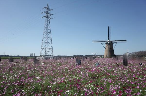 送電線と風車とコスモス