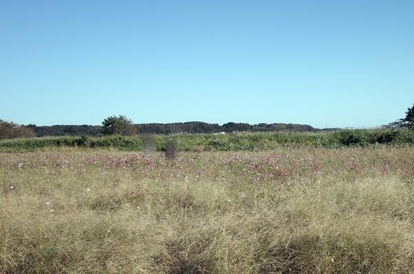 印旛沼公園南「コスモスの里」