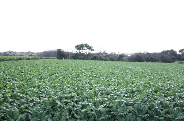 三浦大根の畑