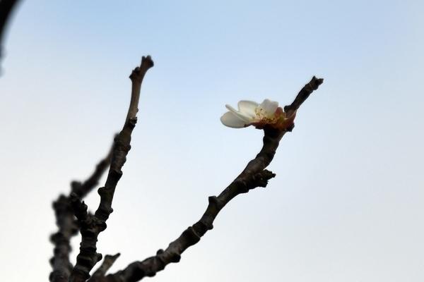 開花した白梅一輪