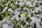 雪を被った黄色い草花