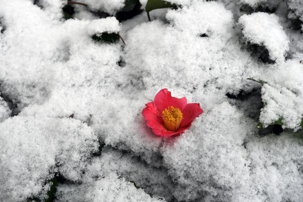 雪に落ちた椿