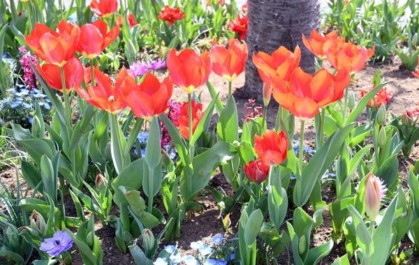 チューリプの花壇