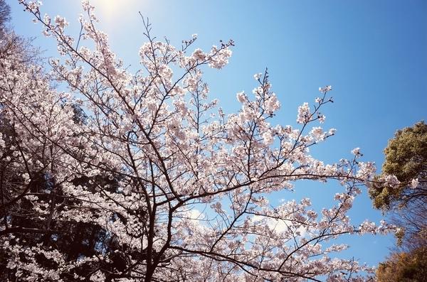 いつもの公園の桜
