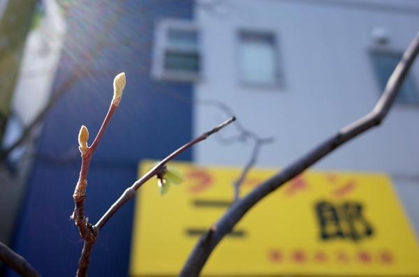 眉二郎のテントとハクウンボクの新芽
