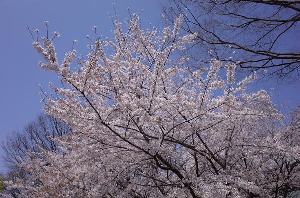 日大生産工学部の桜