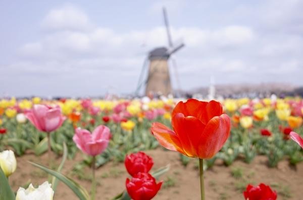 チューリップとオランダ風車