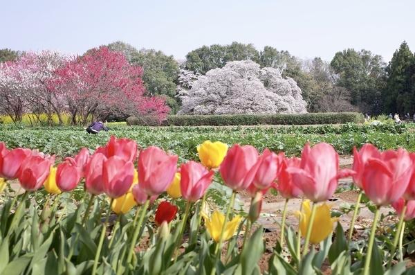 チューリップと吉高大桜