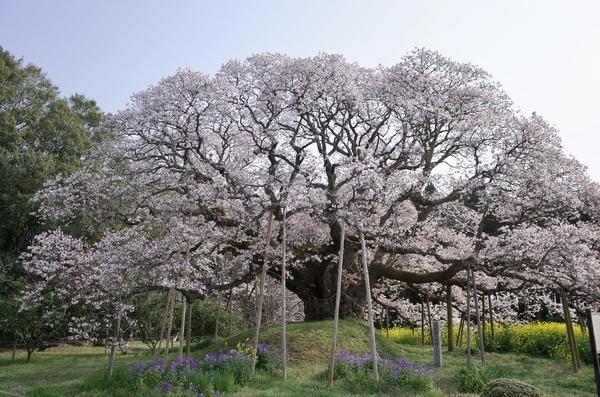 吉高大桜近景