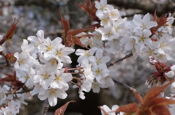 吉高大桜の花