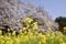 菜の花と吉高大桜