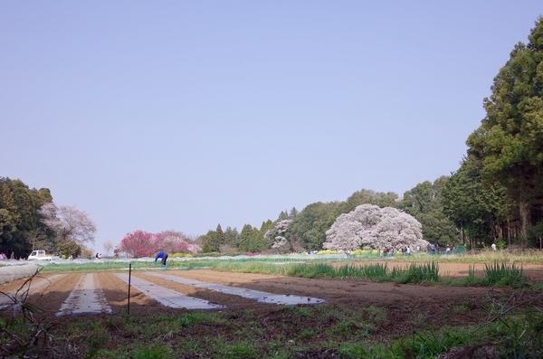 さらば吉高大桜