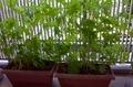 緑のカーテン(内側)