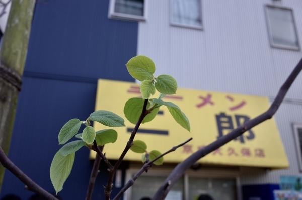 なぜか新芽を吹く白雲木と眉二郎のテント