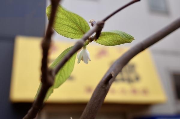 眉二郎のテントと白雲木の狂い咲きの一輪