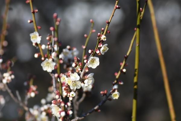 梅林園の白梅2