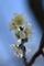 梅林園の白梅17